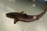 shark, spiny dogfish or piked dogfish, Squalus acanthias, on deck of ship, New York
