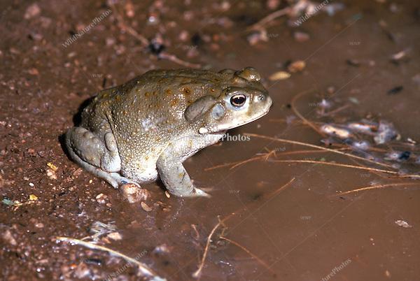 Sonoran Desert Toad, Bufo alvarius; Sonoran Desert, Arizona