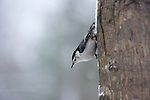 White-breasted Nuthatch (Sitta carolinensis), winter, North Carolina