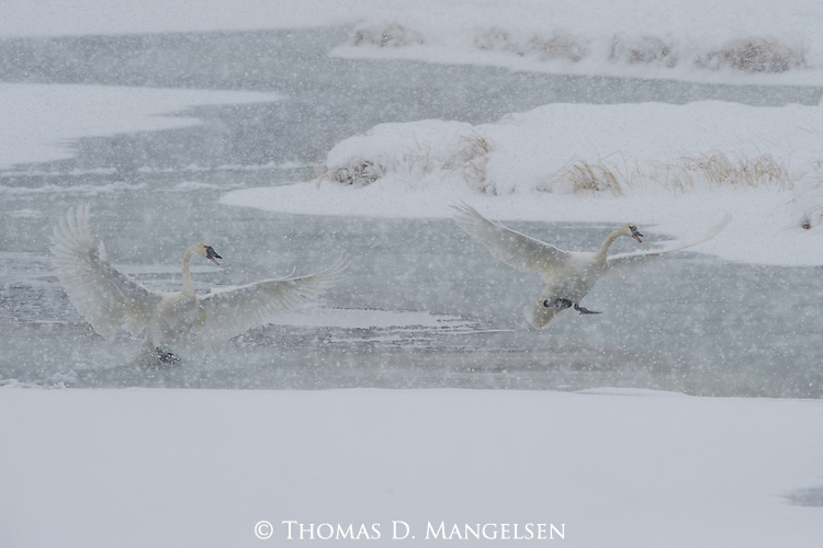 A pair of Trumpeter Swans land on the frozen creek edge on the National Elk Refuge in Jackson Hole, Wyoming.