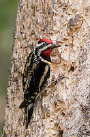 Male Yellow-bellied Sapsucker shows off insect carcass. This bird pokes holes in trees, and either sucks the sap out, or feeds on insects attracted to the sap.