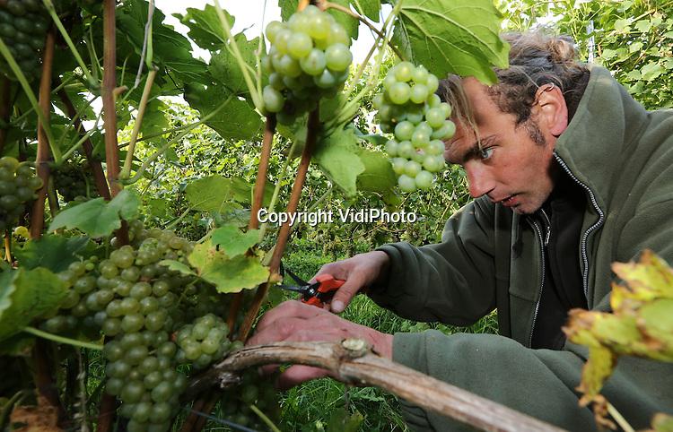 Foto: VidiPhoto<br /> <br /> GROESBEEK - De grootste wijnhoeve van Nederland, de Colonjes in Groesbeek, is woensdag begonnen met de wijnoogst. Deze maand, tot eind oktober, moeten de druiven van de 13 ha. aan wijngaarden geplukt worden door zo'n 80 vrijwilligers van wie er dagelijks zo'n 20 aanwezig zijn. De biologische wijnboer valt regelmatig in de prijzen wat betreft kwaliteit en smaak. Volgens eigenaar Freek Verhoeven is de verwachting dat er dit jaar zo'n 35.000 liter wijn kan worden gemaakt.