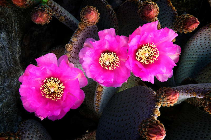 Beavertail cactus bloom (Opuntia basilaris). Joshua Tree National Park, California