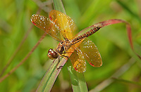 304560005 a wild male eastern amberwing dragonfly perithemis tenera perches on a dead grass stem at santa ana national wildlife refuge rio grande valley texas united states