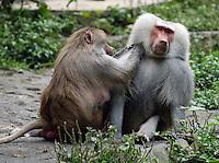 CALI-COLOMBIA-21-03-2003-. Pareja de Papiones se acicala, especie de origen africano. A couple of Baboons are grooming, species of African origin (Photo: VizzorImage/Luis Ramirez)..................