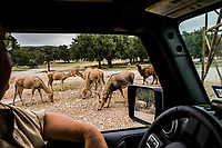 "Pere David's Deer eat corn left for them to eat, as a Lama, affectionately named ""Larry"" approaches at the Ox Ranch on the 15th of August 2017 in Uvalde, Texas, USA. <br /> Photo Daniel Berehulak for the New York Times<br /> According to the Ox Ranch website. Pere David's Deer can be hunted year round, however are most likely to have the largest antlers Jun-Nov.<br /> Origin: Asia<br /> Antler Size: 31-35 inches<br /> Weight: 330-500 pounds<br /> Estimated World Population: 3,000+<br /> Ox Ranch Population: 40<br /> Pere David's Deer barely survived history and have even been declared extinct in the wild. They are, however, flourishing at Ox Ranch and can be found wading through our seven plus miles of spring-fed creeks and lakes.  These aquatic deer have antlers that are as unique as they are impressive.<br /> You may hunt the trophy Pere David's Deer using any method you prefer, including Spot and Stalk, Bow Hunting, Rifle Hunting, Pistol Hunting, Safari Style, or from a Blind. Our Pere David's deer are free ranging on over 18,000 acres of Texas Hill Country."