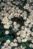 Spiraea x vanhouttei Snowmound in spring flower
