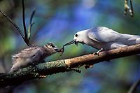 bird, White Tern, Gygis alba, feeding large chick at nest site in tree, on Sand Island, Midway Atoll, Papahanaumokuakea Marine National Monumen, Northwestern Hawaiian Islands.