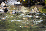 USA, Alaska, Redoubt Bay, Big River Lake, a school of sock-eye salmon waiting for the rain to swim upstream and spawn