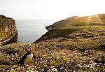 Atlantic Puffin (Fratercula arctica) group at coastal breeding colony at sunset, Skomer Island National Nature Reserve, Skomer Island, Pembrokeshire, Wales, United Kingdom