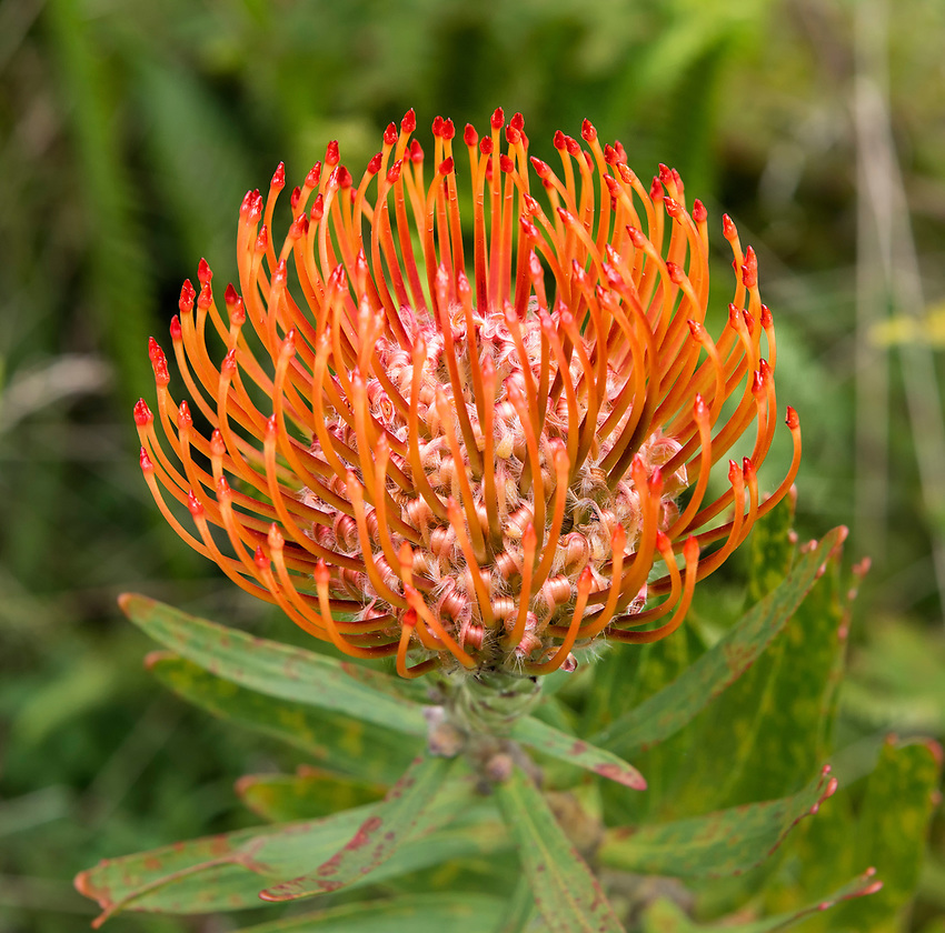 Orange Protea Pincushion flower, photographed at the Kula Botanical Garden in Kula, Hawaii (Maui)