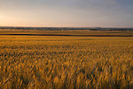 Wheat field in eastern Boulder, Colorado,