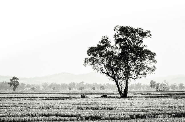 Lone tree in a field, Cowra, NSW, Australia