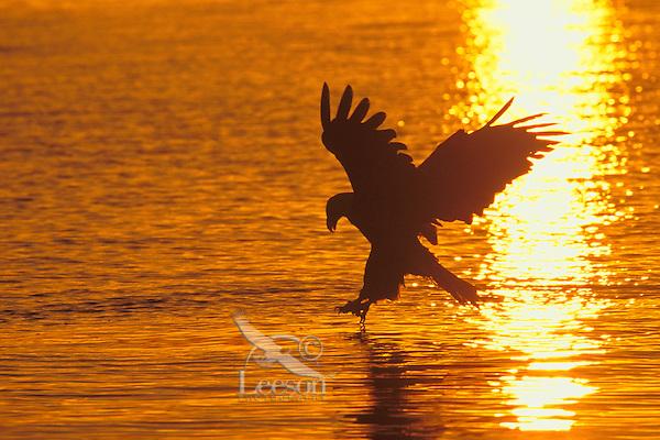 Bald Eagle (Haliaeetus leucocephalus) fishing.  Pacific Northwest.  Sunset.