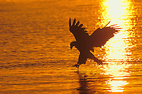 Bald Eagle (Haliaeetus leucocephalus) fishing.  Pacific Northwest.  Sunset.