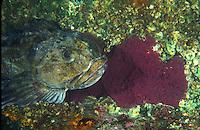 Female Cabezon sitting on egg mass, near Seattle in Puget sound. Cabezon - Scorpaenichthys marmoratus