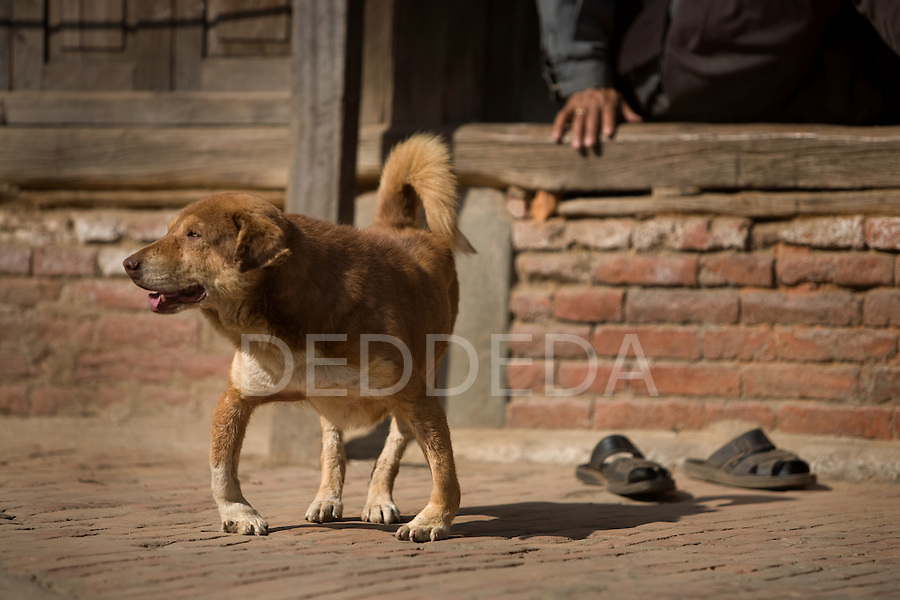 A bow-legged dog stands on the streets of Bhaktapur Durbar Square, Nepal.