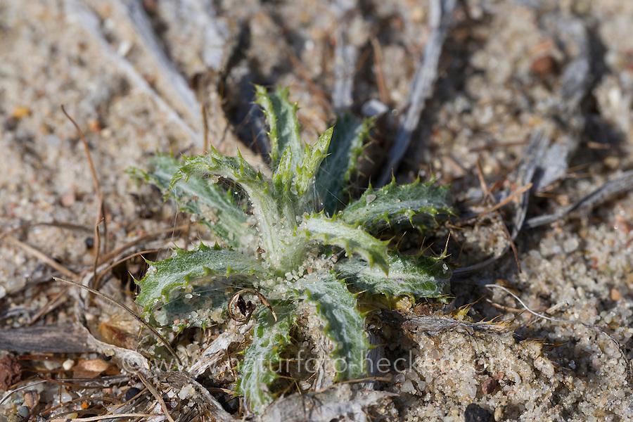 Golddistel, Gemeine Eberwurz, Kleine Eberwurz, Blatt, Blätter, Blattrosette, Carlina vulgaris, Carline thistle