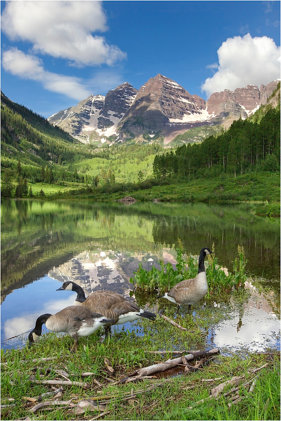I arrived at the Maroon Bells near Aspen, Colorado, at 4am to photograph the full moon over the Bells. However, the clouds hung around for most of the morning. I hiked up to Crater Lake to photograph that area as the clouds began to dissipate. Late in the morning on my return to the car, I could not pass up the chance to photograph the friendly Canada Geese that seemed undeterred by my presence. This Colorado image was taken on a nearly perfect July morning.