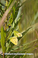 03104-002.02 Little Yellow (Eurema lisa) male & female mating, Prairie Ridge SNA, Marion Co. IL