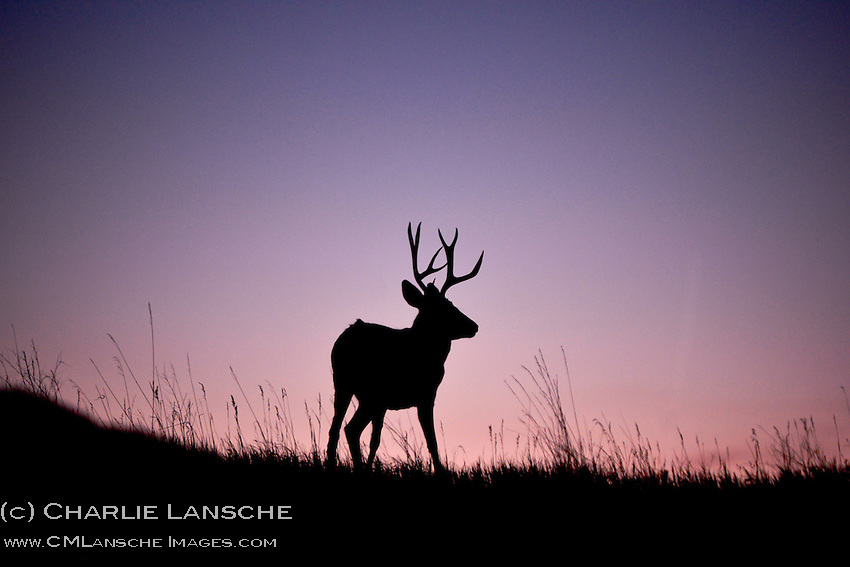 Mule deer buck at sunset.  Series of 3 images.