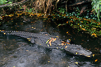 American Alligator (Alligator mississippiensis) resting along edge of small pond.  Florida.