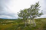 European White Birch (Betula pubescens), Dovrefjell National Park, Norway