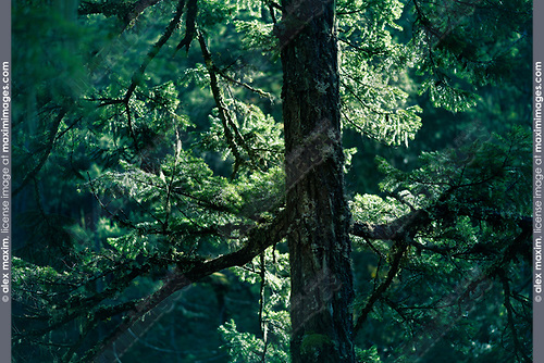 Closeup of Duglas fir tree branches glowing in sunlight in deep green forest. Vancouver Island, British Columbia, Canada. Image © MaximImages, License at https://www.maximimages.com