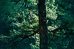 Closeup of Duglas fir tree branches glowing in sunlight in deep green forest. Vancouver Island, British Columbia, Canada.