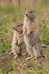 Arctic ground squirrels, Arctic National Wildlife Refuge, Alaska