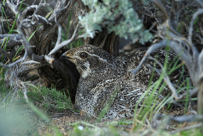 Female Greater Sage-Grouse (Centrocercus urophasianus) incubating nest under a sage canopy. Sublette County, Wyoming. May.