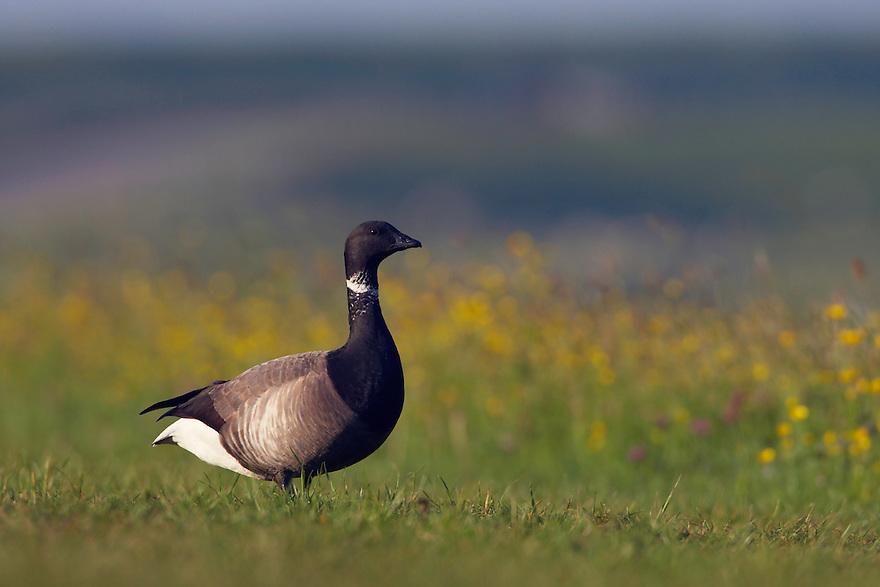 Brent Goose (Branta bernicla) Texel, the Netherlands