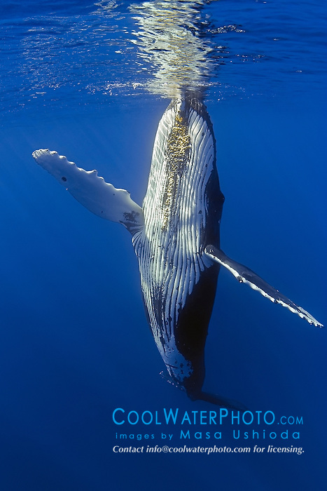 humpback whale, Megaptera novaeangliae, ballet dancing, Hawaii, Pacific Ocean