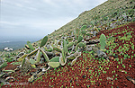 Les figuiers de Barbarie ont envahi les flancs du Monte Corona. Ile de Lanzarote. .Fig trees on the Monte Corona . Lanzarote island