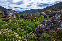 Luetkea pectinata, Alpine Spirea or  Partridgefoot covering boulders; Gold Core Lake trail through subalpine heath tundra, Alaska at Independence Mine State Historical Park