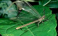 1L51-009a   Antlion adult  -  Myrmeleon crudelis