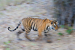 17 months old Bengal tiger cub walking in bamboo forest, early morning, dry season, motion blur