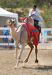 Brade Emmans races at the International Camel Races in Virginia City, Nev., on Friday, Sept. 9, 2011. .Photo by Cathleen Allison
