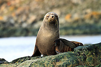 An Antarctic fur seal basks in the sun on the shore of Aitcho Island in the South Shetland Islands  near the Antarctic Peninsula.