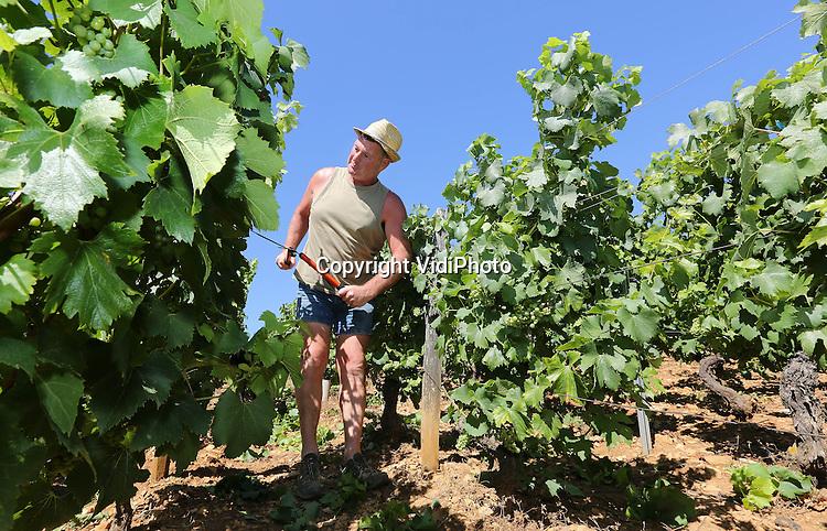 Foto: VidiPhoto<br /> <br /> FLEURIE - Een Franse wijnboer snoeit de jonge ranken van de beaujolaisdruiven in de Beaujolais bij het wijndorp Fleurie. Zo krijgen de jonge druiventrossen meer licht en groeien ze sneller. De oogst van de beaujolaisdruif begint door het koude voorjaar later dan normaal en ook de vruchten zullen een stuk kleiner zijn, met daardoor minder productie, zo verwachten deskundigen. De kwaliteit is wel optimaal. Traditioneel wordt op de derde donderdag in november de beaujolais nouveau, in Nederland de beaujolais primeur genoemd, op de markt gepresenteerd. Deze primeur is wijn van de eerste persing, met veel 'fruit', vaak nog wat schraal bij de eerste slok, maar in de afdronk kan al wel de kwaliteit van dat jaar worden herkend. De beaujolais nouveau wordt jong gedronken en is geen bewaarwijn.
