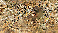 Lizard - Western Whiptail