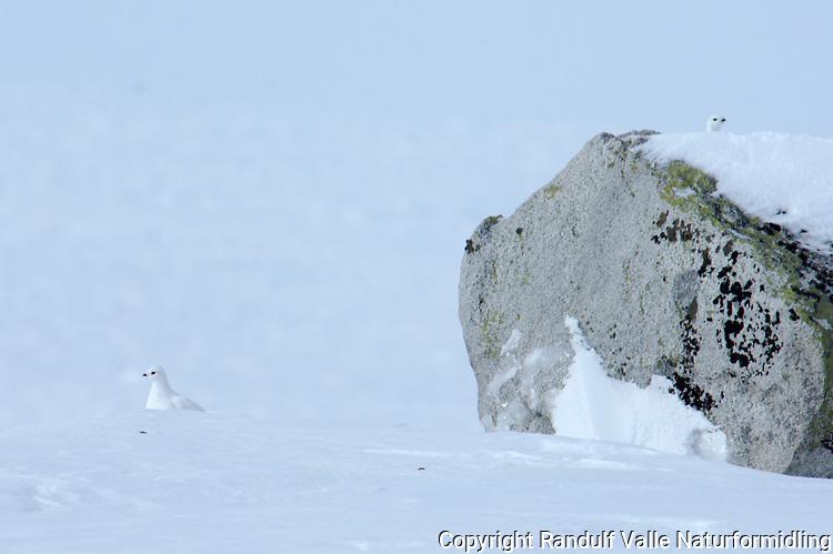 Fjellryper i vinterlandskap.-----.Rock ptarmigan in winter