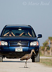 Limpkin (Aramus guarauna), watched by birders in a car, Viera, Florida, USA