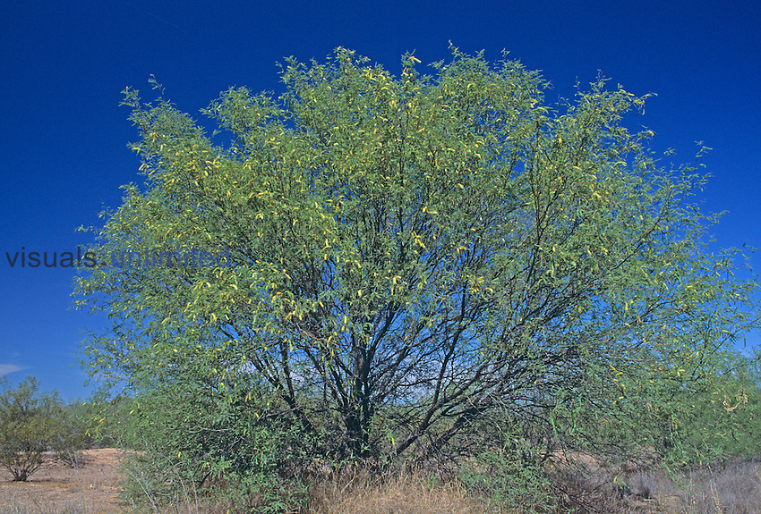Velvet Mesquite tree ,Prosopis velutina, Sonoran Desert, Arizona, USA
