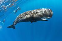 Free diver swimming with a sperm whale, Physeter macrocephalus, The sperm whale is the largest of the toothed whales Sperm whales are known to dive as deep as 1,000 meters in search of squid to eat Image has been shot in Dominica, Caribbean Sea, Atlantic Ocean Photo taken under permit #RP 16-02/32 FIS-5