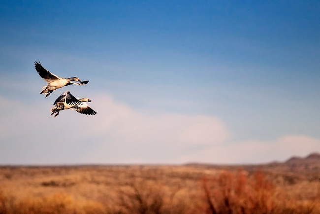 Two snow geese coming in for a landing at the National Wildlife Refuge in Bosque del Apache, New Mexico