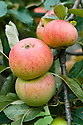 "Apple 'Rival', early September. An Engish dessert apple bred by Charles Ross, head gardener at Welford Park Gardens, Newbury, Berkshire. ""By the early 20th century 'Cox's Orange Pippin' was well-established as the premier English apple.  However it was not the easiest to grow, and many attempts were made to cross it with varieties which were easier to manage.  'Rival' is slightly unusual in that the other parent is 'Peasgood's Nonsuch', a well-regarded English cooking apple, which imparts good disease resistance and a much shaper flavour."" www.orangepippin.com"