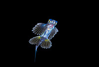 unidentified flyingfish, Cheilopogon sp., juvenile, at night, offshore, Palm Beach, Florida, USA, Atlantic Ocean