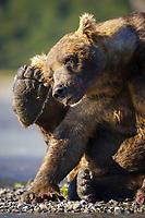 A male kodiak grizzly bear (Ursus arctos middendorffi) named Pythagoreas scratches his ear at Kukak Bay