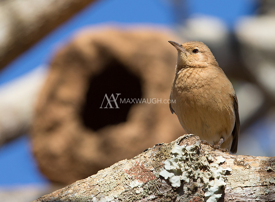 The Rufous hornero belongs to the genus of ovenbirds, known as such due to their unique nests.